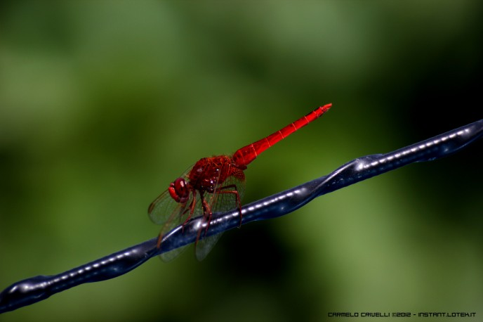 red draglonfly