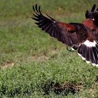 flying raptor