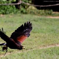 flying raptor .3