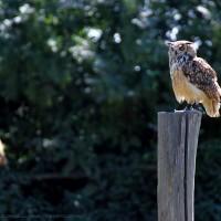 eagle owl .3
