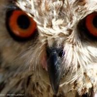 eagle owl .2