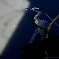 heron in the blue