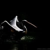 pelican in black