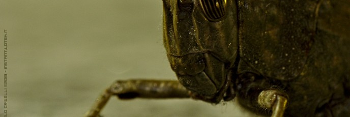 Grasshopper [crop]