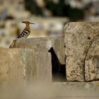 upupa in Jerash