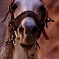 horse in Petra