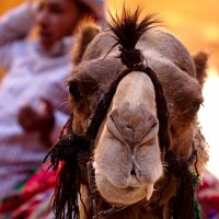 slobbery camel