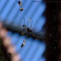 Golden Orb Weaver Spider (v.2) - Royal Botanic Garden, Sydney (AU)