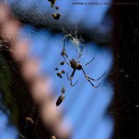 Golden Orb Weaver Spider - Royal Botanic Garden, Sydney (AU)