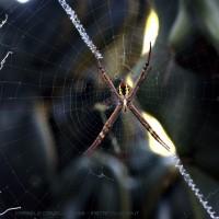 St Andrew's Cross Spider - Royal Botanic Garden, Sydney (AU)
