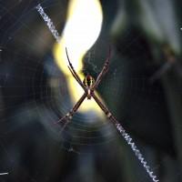 St Andrew's Cross Spider (v.2) - Royal Botanic Garden, Sydney (AU)